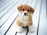 Вельш корги пемброк купить щенка