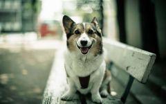 Собака вельш корги кардиган