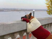 Немецкий дог в свитере