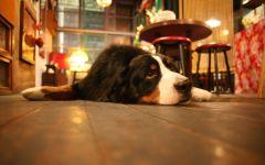 Собака зенненхунд