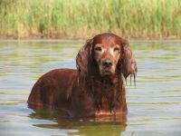Собака ирландский сеттер