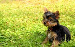 Фото йорков щенков