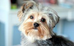 Прививки щенкам йорка