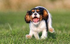 Купить щенка кинг чарльз спаниеля