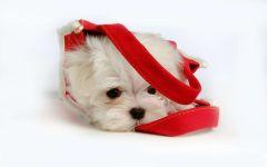 Купить щенка мальтийской болонки