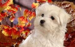 Порода мальтезе щенок