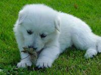 Маремма купить щенка