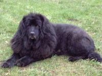 Ньюфаундленд собака