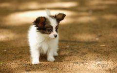 Куплю щенка папильона