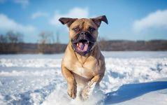 Бульмастиф порода собак