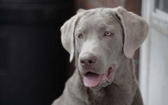 Собака веймаранер