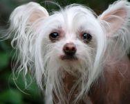 Китайская хохлатая голая собака