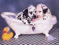 Щенки далматина, фото обои для рабочего стола,