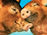 Целующиеся свиньи