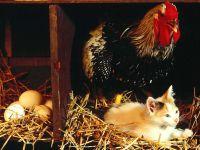 Курица и котенок в курятнике