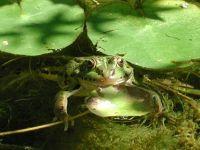 Прудовая или озерная лягушка