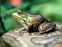Зеленая лягушка сидит на камне
