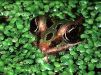 Лягушка спрятавшаяся в ряске