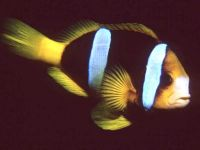 Двухполосый клоун (Amphiprion bicinctus)