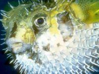 Крупнопятнистая рыба-ёж (Diodon liturosus),