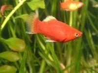 Красная пецилия (Xiphophorus variatus)