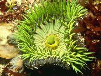 Зеленое морское беспозвоночное