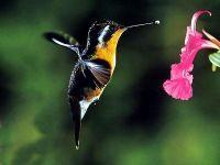Колибри (Lampornis),