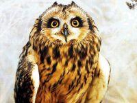 Болотная сова (Asio flammeus)