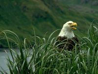 Белоголовый орлан в траве