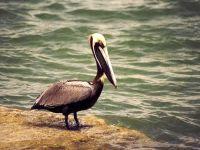 Бурый пеликан (Pelecanus occidentalis) обои