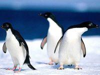 Пингвины Адели (Pygoscelis adeliae),