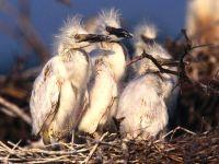 Птенцы цапли
