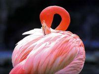 Розовый фламинго (Phoenicopterus roseus)