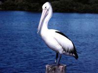 Австралийский пеликан (Pelecanus conspicillatus)