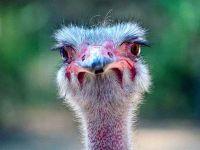 Страус (Struthio camelus)