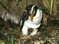 Толстоклювый хохлатый пингвин (Eudyptes pachyrhynchus)
