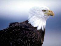 Белоголовый орлан, или лысый орел