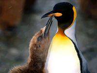 Королевский пингвин (Aptenodytes patagonicus) с птенцом