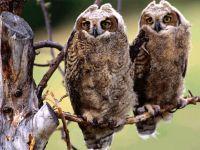 Болотные совы (Asio flammeus)