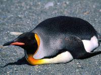 Королевский пингвин лежит на брюхе (Aptenodytes patagonicus), фотография , фото обои