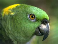 Желтошейный амазон (Amazona auropalliata)