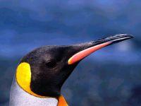 Голова королевского пингвина (Aptenodytes patagonicus)