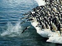 Пингвины Адели (Pygoscelis adeliae) ныряющие в воду, фото обои фотография