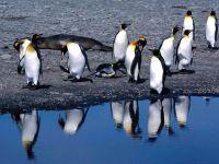 Королевские пингвины около воды (Aptenodytes patagonicus)