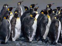 Колония императорских пингвинов (Aptenodytes forsteri)