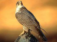 Сокол сапсан (Falco peregrinus)