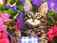 Котенок домашней кошки обои