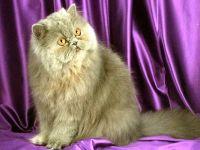 Серая персидская кошка