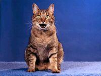 Европейская короткошерстная кошка обои