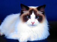 Рэгдолл кошки